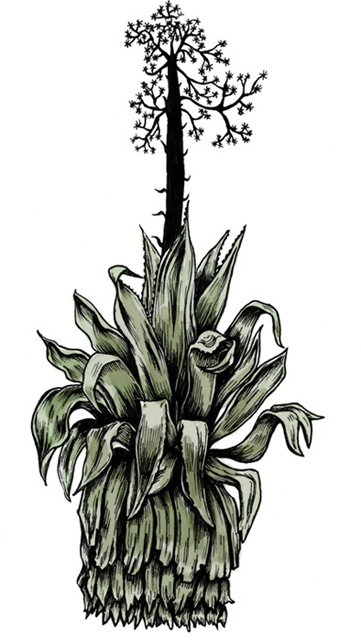 Agave -aguava Cayman Islands BD reportage dessiné drawing Essi